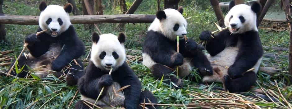 goireisen-Chengdu-Pandas.jpg